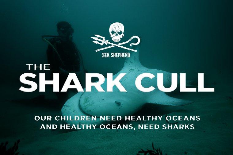 https://static.seashepherdglobal.org/media/filer_public_thumbnails/filer_public/67/5c/675c8df7-5e61-41db-ab20-fc582437f185/7_shark_cull_760_x_505.jpg__760x505_q85_crop_subsampling-2.jpg